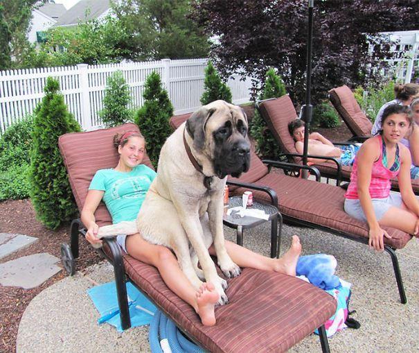 огромные собаки, которые считают себя щенками (10)