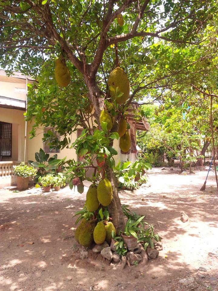 Langka/Jackfruit Tree