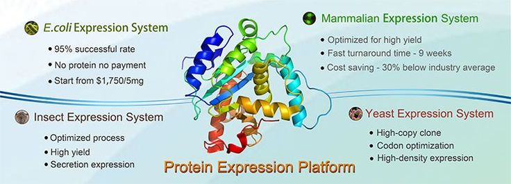 Recombinant protein synthesis - BIC (BiologicsCorp) provides high-quality, cost-effective, recombinant protein production services. We excel on all aspects of the process (gene synthesis, cell culture, protein expression and purification and so on) and have successfully delivered purified proteins to countless customers, with an over 95% on-time rate. Only at http://www.biologicscorp.com