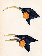 New Zealand Huia Bird. Female with curved bill and male below. Last confirmed sighting 1907.
