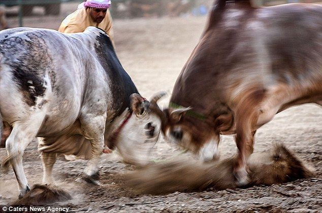Fast and furious: These two were a blur of horns and hooves