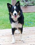 Lost Dog - Border Collie - Twinsburg, OH, United States 44087