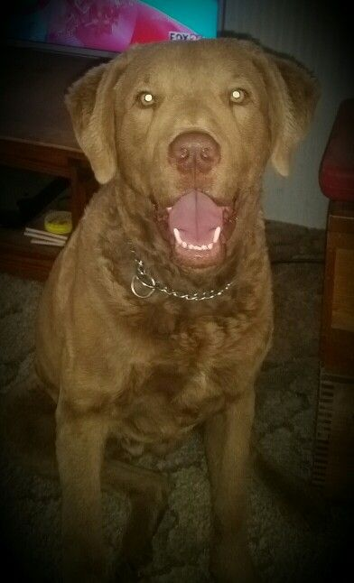 Shasta's Handsome Little Bocephus aka Hank Jr. Chesapeake Bay Retriever