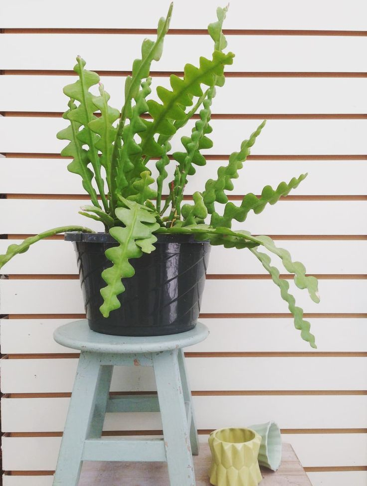 Oddly Intriguing Indoor Plants You Ve Probably Never Heard Of Hanging Plants Plants Unusual Plants
