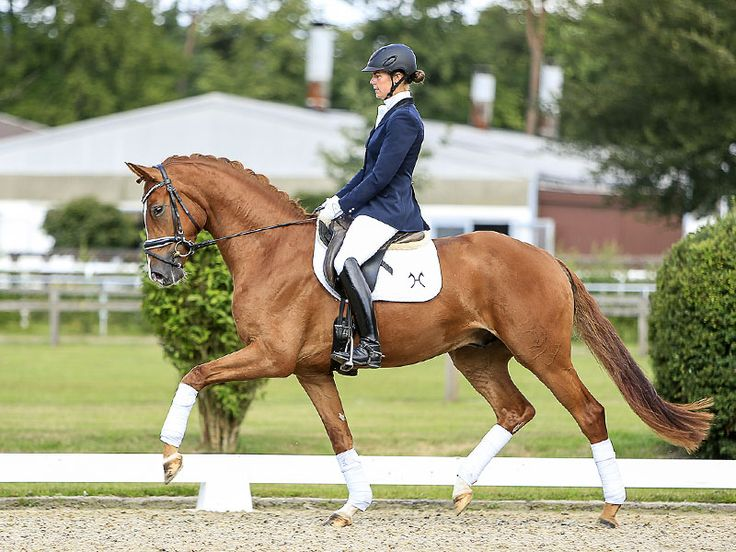 Top sport horses for dressage, showjumping and hunter classes in the collection of the 133rd Elite-Auction. #dressagehorses #showjumpinghorses #huntersport #verdenauction