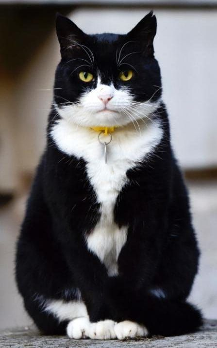 Palmerston, the Foreign Office Cat sitting in Downing Street opposite the door of No. 10 in London