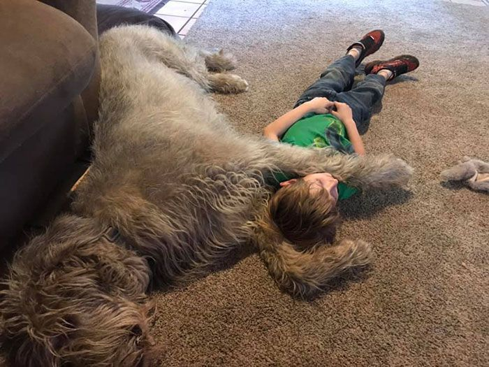 People Are Sharing Funny Photos Of How Big Their Irish Wolfhounds