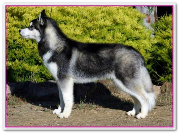 Best Cheap Dog Food Australia Good Cheaper Dog Food Posted In Your Pets For Too Many Reasons To Go Which I Siberian Husky Siberian Husky Dog Dog Breeds