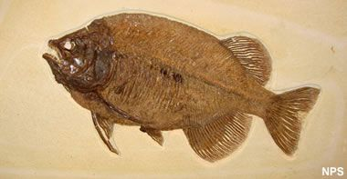 I Love geology .... Large teeth and rear-placed fins make Phareodus encaustus well suited for catching and eating other fish. View more Green River fish fossils. National Park Service - Fossil Butte National Monument photograph.