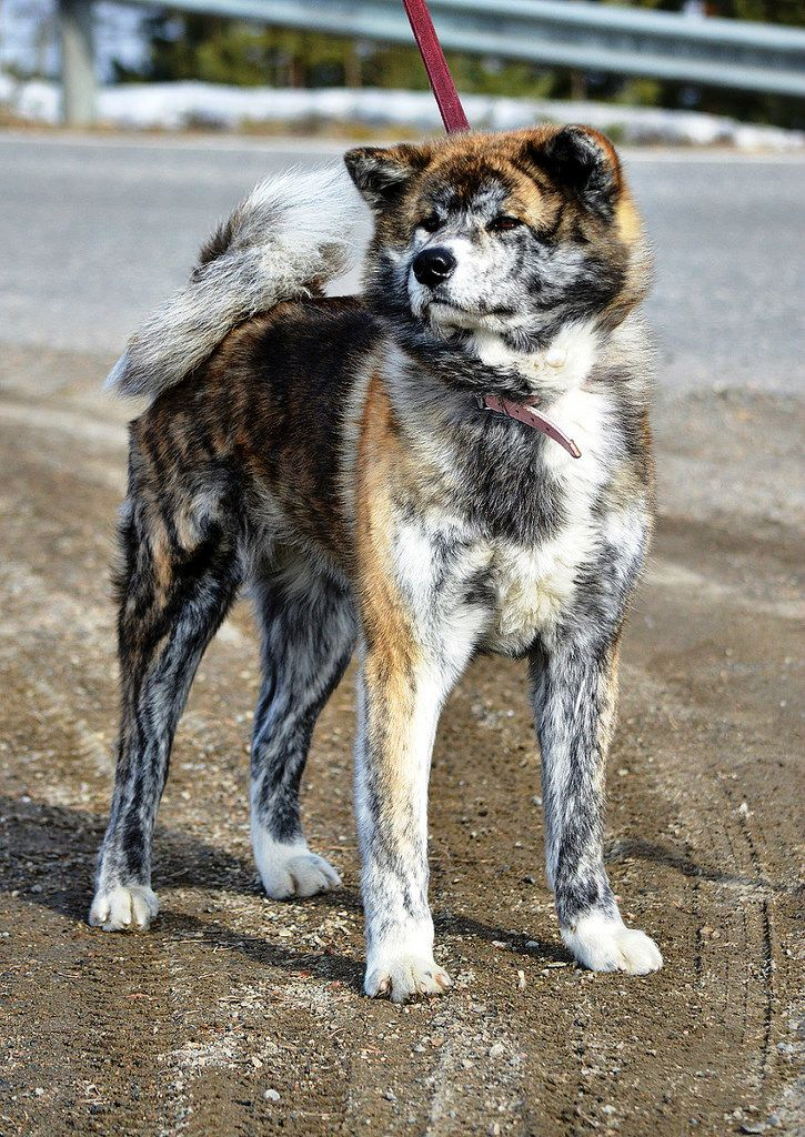 """Click visit site and Check out Hot """"Akita Dog"""" T-Shirts & Hoodies. This website is excellent.  Tip: You can type """"your first name"""" or """"your favorite shirts""""  by using search bar on the header.   #akita"""