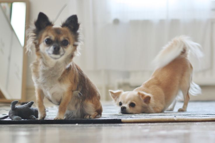 The chihuahuas <3