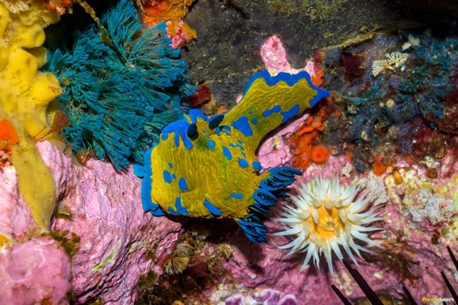 Nudibranch at Poor Knights Islands Marine Reserve, Northland New Zealand #NZ