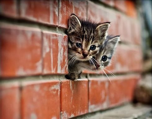 awww: Cats, Kitty Cat, Brick Wall, Peekaboo, Peek A Boo, Cute Kittens, Animal, Baby Cat, Kittycat