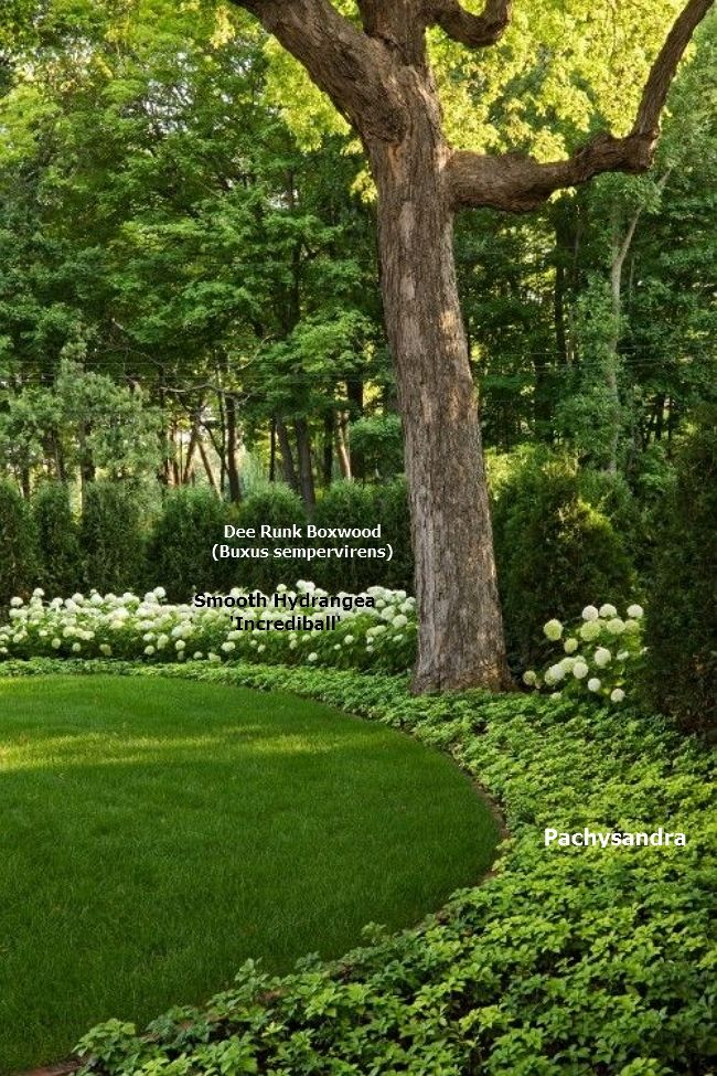 This shady wooded backyard has the perfect soothing combination of plants. A border of evergreen Dee Runk Boxwood (Buxus sempervirens), with the contrasting white of Smooth Hydrangea 'Incrediball' (Hydrangea Arborescens) and the groundcover of Pachysandra.... it all combines to give a cool, calming and natural effect.