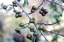 Grewia occidentalis - Kruisbessie