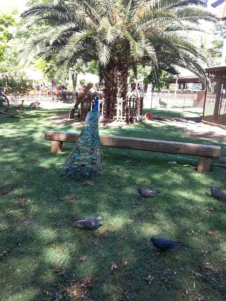 Tavuskuşu - Peacock ( Yeşilköy Rönepark )