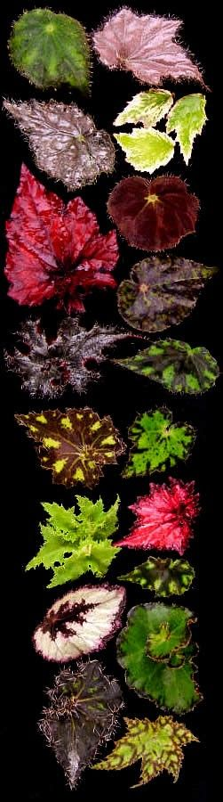 Begonia Leaf Menagerie ♥ Great for adding color to shade to part shade gardens or containers.