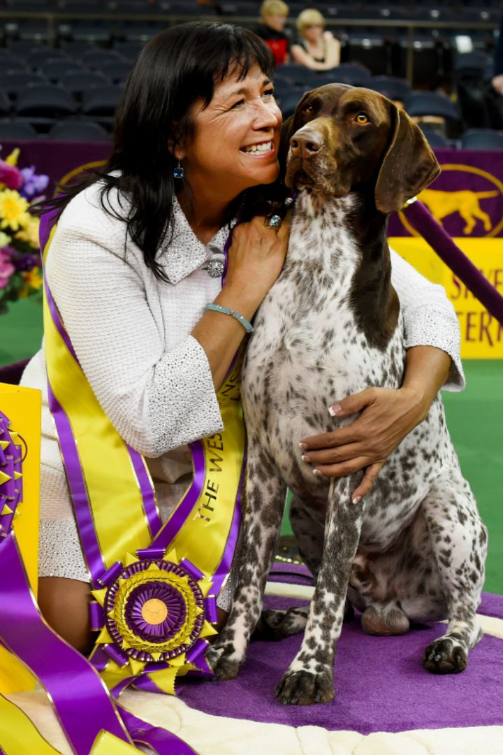 The 2016 Westminster Kennel Club Dog Show Best in Show Winner Is the German Shorthaired Pointer!