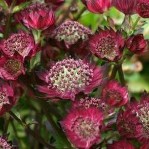 Plant of the Week: Astrantia Moulin Rouge