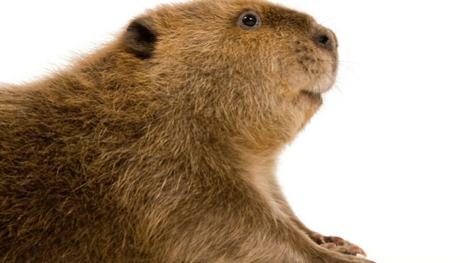 "Vanilla flavoring comes from a beavers butt!!!! And the worst part? The FDA-approved castoreum is not required to be listed as an ingredient on food items. Manufacturers may list ""natural flavoring"" instead."