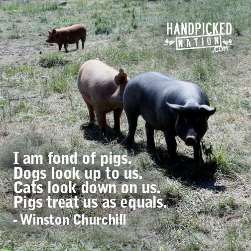 Pig Perspective