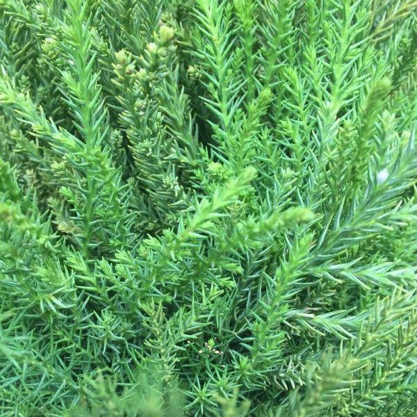 Adventsdeko von Pflanzen-Kölle: Kölle's Bio Sicheltanne Handbund  Allergikergeeignete und sehr haltbare Sicheltanne aus ökologischem Landbau. Ideal zur Fertigung von Sträußen, Gestecken oder Kränzen.