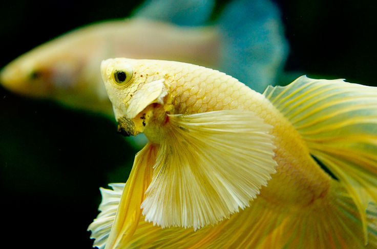 """Gorgeous finnage on this """"elephant ear"""" Yellow Gold HM Betta #fish"""