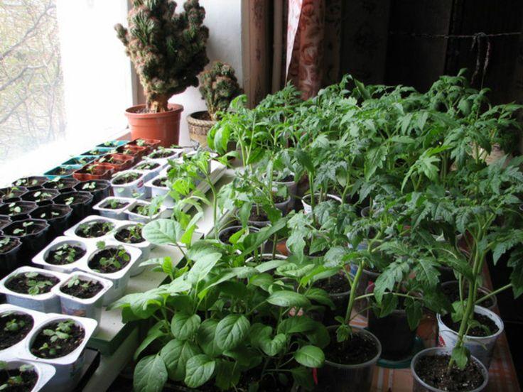 Конец зимы — начало весны — горячая пора для всех огородников. Настало время колдовать над рассадой! Ведь от того, насколько крепкой и устойчивой к болезням будет рассада, зависит, какой ты соберешь …