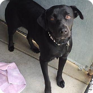 Labrador Retriever Mix Dog for adoption in Denver, Colorado - Eclipse