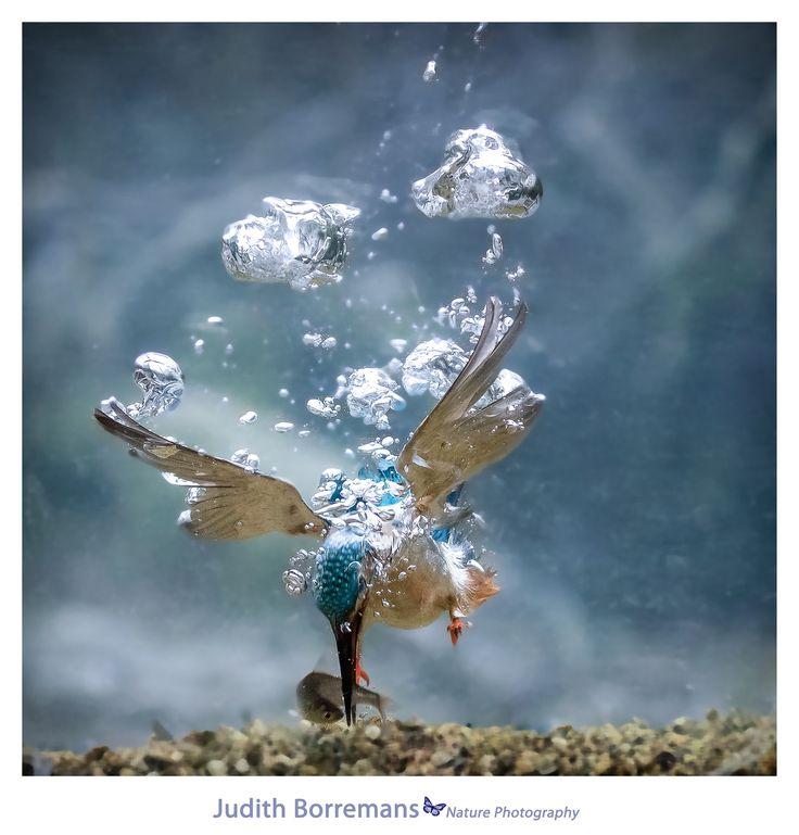 Kingfisher catching a fish underwater Kingfisher