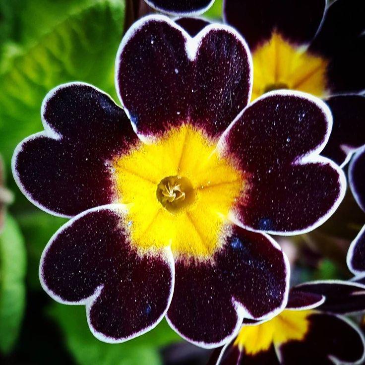 Primula Gold Lace med söta hjärtformade blad.