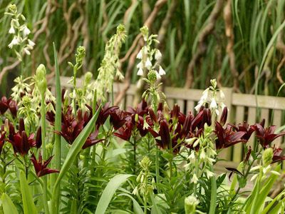 Galtonia candicans with a lily, perhaps Landini; flowering in Aug-Sept when everything else is tiring.
