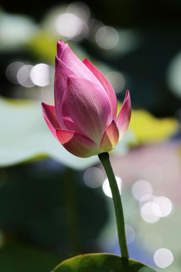 862 best lilies other beautiful things images on pinterest lotus pink lotus lotus flower lotus bud lotus blossoms zen meditation pretty flowers pink flowers black holes botany izmirmasajfo