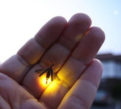 """firefly -- magic. I remember catching these when visiting """"back East"""""""