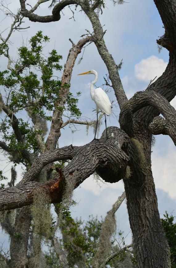Jekyll Island Ga Egret 4 Magnet Photographer Mary Long Etsy