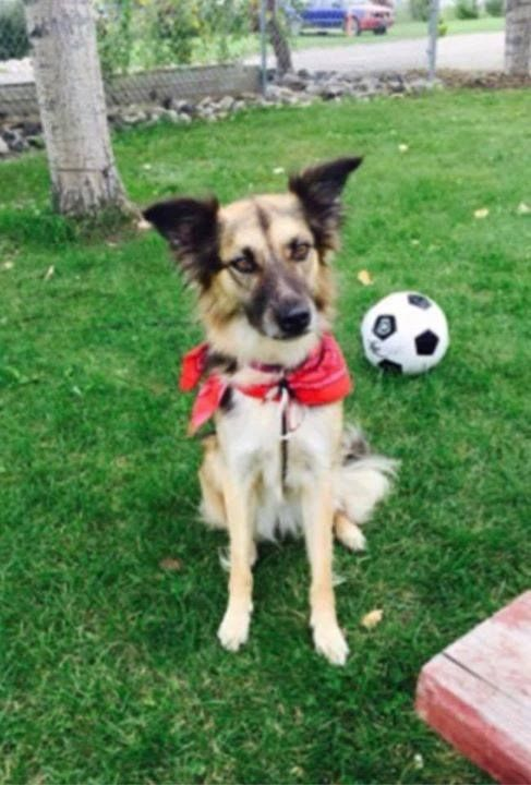 Lost shep / collie x dog in #chestermere area very timid.. DO NOT CHASE 403-934-0216 Pls rt watch share help to find Sadie! YYC Pet Recovery shared Cher N Bryan Urie's post. Lost our precious Sadie she jumped the fence this morning and we have searched and searched with no luck in finding her. We live in West Chestermere but she may have wandered into Calgary east not wearing her collar. She is a very timid dog.  Fine boned and very light on her feet fixed. shepherd/Collie cross.  Her fur…