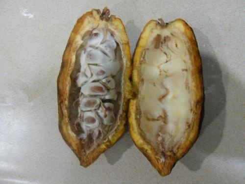 how to grow cocoa plant from seed