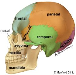 This diagram is of the skull. It has bones to protect each lobe of the brain, as you can see, Those are the ones in color. Still, the. brain has other bones too. the Mandible is at the lower part of the jaw, ans the Maxillary is at the top, Those two bones often get mixed up. the Zygoma is at your cheek, and if you feel under you eye you should feel in. The Nasal is the bone in your nose. in does not stick out like your  nose though.