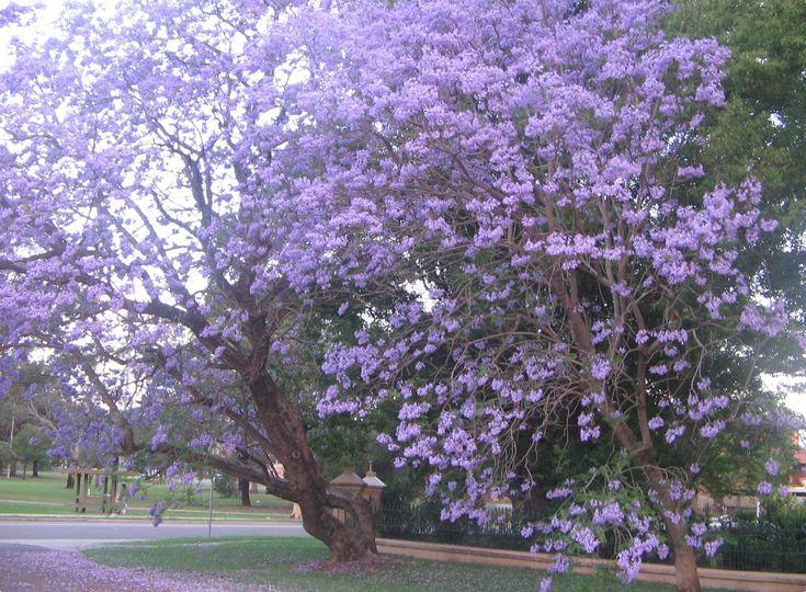 Jacaranda Tree.  Aromatic!!