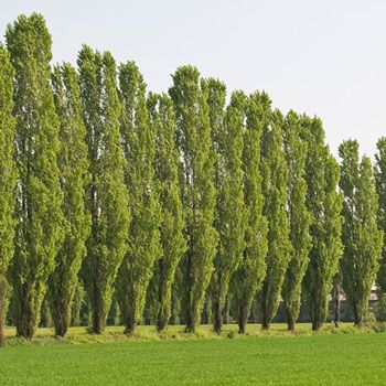 Lombardy Poplar Fast Growing Privacy Wind Break - Block the Wind... Lower Your Heating Bills... Enjoy Your Yard Summer & Winter. Plant 5-8 feet apart and you will quickly have a dense barrier that can reach 60 ft or more. Nothing stops the wind faster. They commonly grow 6 feet a year and some people report growth rates of 9-12 ft. You often...