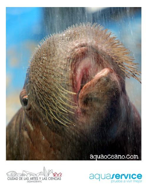 ¡Nos apasiona la vida en el agua! Aquaservice apadrina las morsas del Oceanogràfic: http://www.aquaoceano.com #walrus