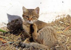 Pulci del gatto: rimedi naturali