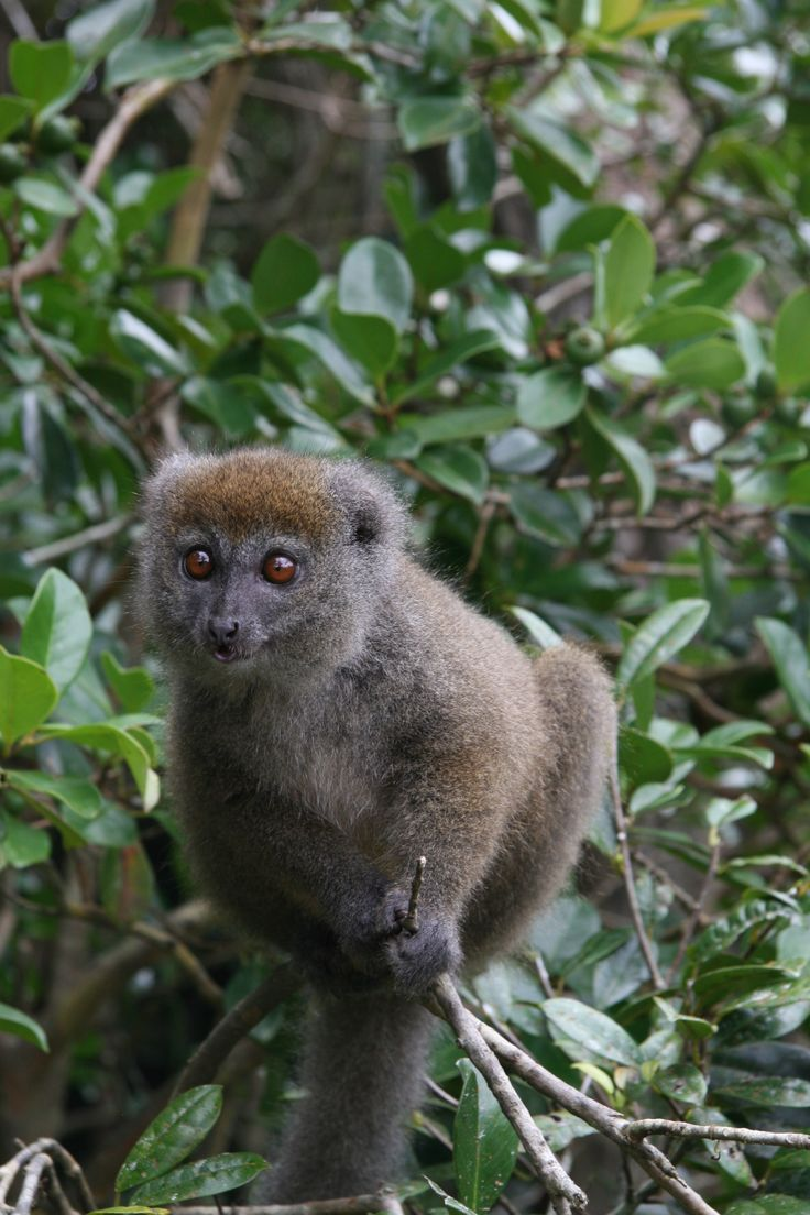 Cute, small brown Lemur