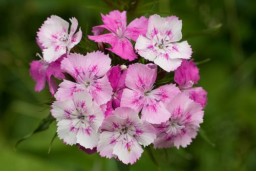 Planted some Sweet William flower and I am so looking forward to their sweet beautiful smell & possibly some butterflies & hummingbirds!
