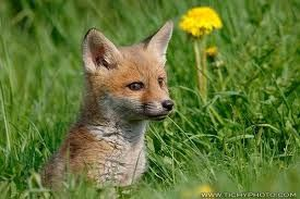 Výsledek obrázku pro liška