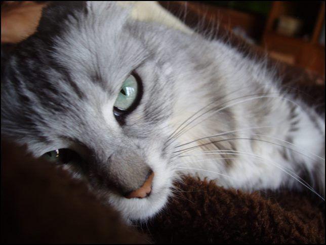 Gatos angora turcos