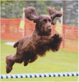 Field Spaniel ~ Classic Look & Trim ~ Killara Field Spaniels