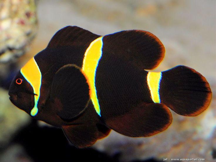 Variante jaune du poisson-clown épineux avec Premnas epigrammata