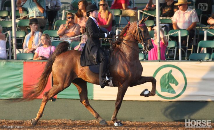 The American Saddlebred's graceful gaits are a joy to watch, but it's careful training that makes this breed a show stopper.