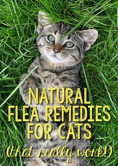 Every cat lover knows how annoying fleas can be, both to themselves and to the cat. However, some cats do not react well to synthetic chemicals touching their lovely fur. Instead, consider using safe, natural remedies. You need never again use a commercial flea remedy. Head to eBay, and learn how to use diatomaceous earth to snuff out the critters. Alternatively, you can make a safe, refreshing remedy for your beloved pet out of lemon juice solution. Read on to find out more!
